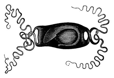 ichthyology: Skate egg, vintage engraved illustration. La Vie dans la nature, 1890.