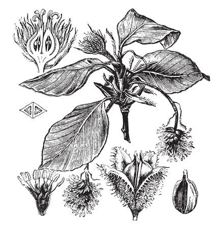 fagaceae: Beech, vintage engraved illustration. La Vie dans la nature, 1890.