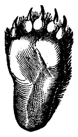 black toes: Hind paw of the bear, vintage engraved illustration. La Vie dans la nature, 1890.