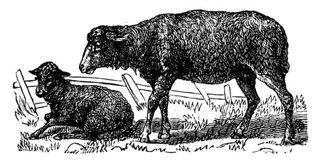 ruminant: Sheep, vintage engraved illustration. La Vie dans la nature, 1890.
