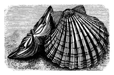 Saint-Jacques pétoncles, illustration vintage gravé. La Vie Dans la nature, 1890.