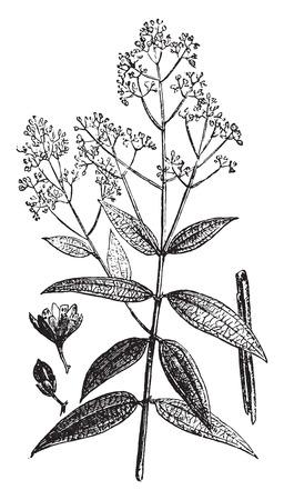 cinnamomum: Cinnamon, vintage engraved illustration. La Vie dans la nature, 1890. Illustration