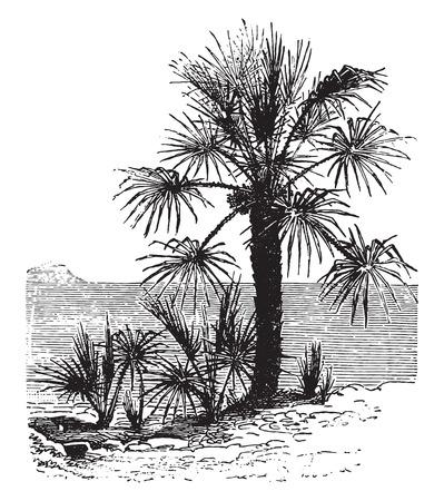 dwarf: Chamaerops dwarf, vintage engraved illustration. La Vie dans la nature, 1890.