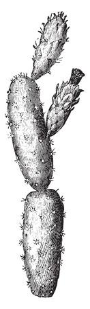 pera: Higos chumbos, ilustración de la vendimia grabado. La Vie dans la nature, 1890.