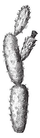Prickly pear, vintage engraved illustration. La Vie dans la nature, 1890. Illustration