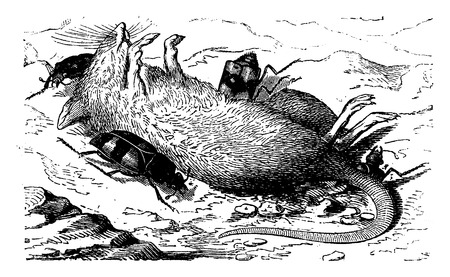 corpse: Burying beetles burying the corpse of a mouse, vintage engraved illustration. La Vie dans la nature, 1890. Illustration