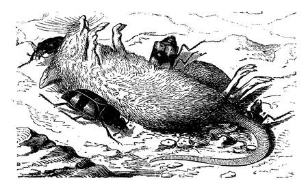 Burying beetles burying the corpse of a mouse, vintage engraved illustration. La Vie dans la nature, 1890. Illustration