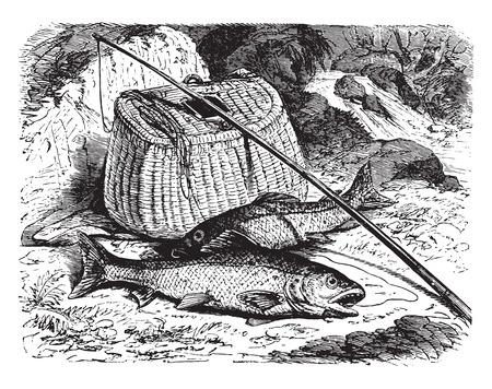 brown trout: Brown trout, vintage engraved illustration. La Vie dans la nature, 1890.