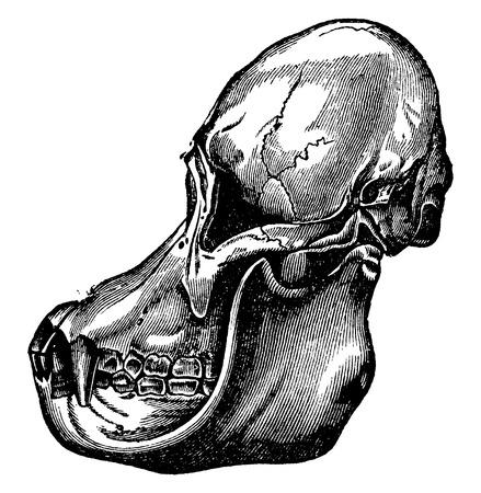 primate biology: Orangutan skull, vintage engraved illustration. La Vie dans la nature, 1890.