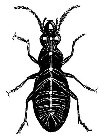 Zenuwstelsel van een insect, vintage gegraveerde illustratie. La Vie dans la nature, 1890. Stock Illustratie