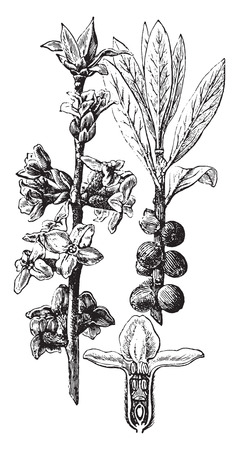 history month: Daphne Mezereum, vintage engraved illustration. La Vie dans la nature, 1890.