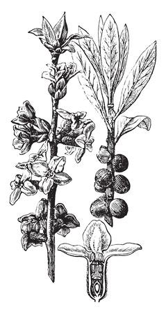 dafne: Daphne Mezereum, vintage illustrazione inciso. La Vie dans la nature, 1890. Vettoriali