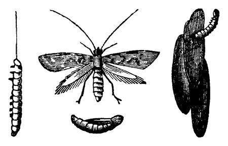 Ringworm of the grains, vintage engraved illustration. La Vie dans la nature, 1890.