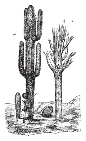 cereus: Cereus, vintage engraved illustration. La Vie dans la nature, 1890.