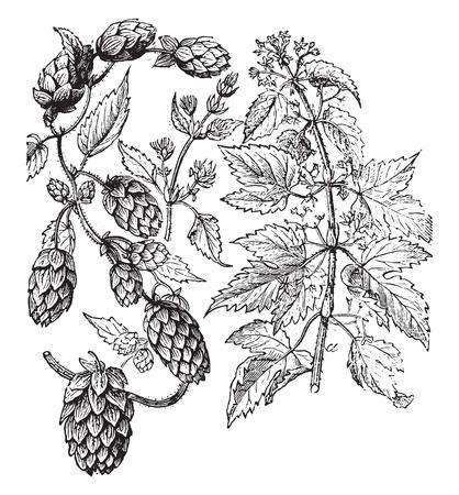 BIOLOGIA: El lúpulo, vintage grabado ilustración. La Vie dans la nature, 1890.
