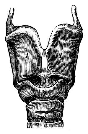 larynx: Larynx, vintage engraved illustration. La Vie dans la nature, 1890.