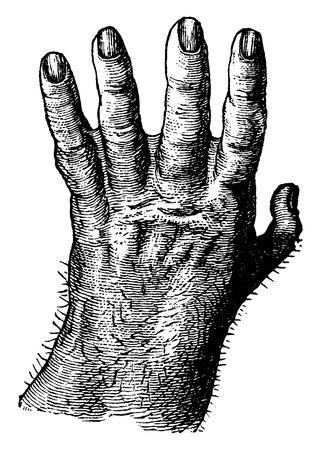 primate biology: Gorilla hand, vintage engraved illustration. La Vie dans la nature, 1890. Illustration