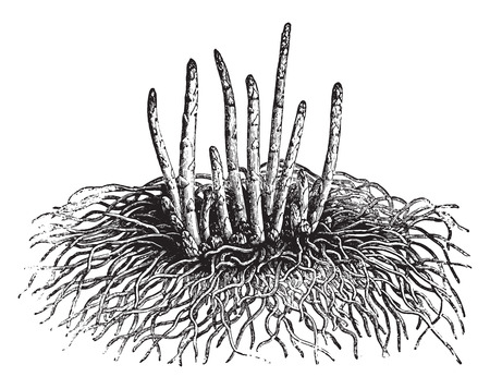 officinalis: Young asparagus, vintage engraved illustration. La Vie dans la nature, 1890.