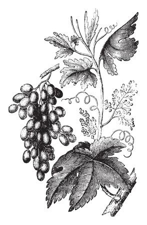 vitis: Vine, vintage engraved illustration. La Vie dans la nature, 1890.
