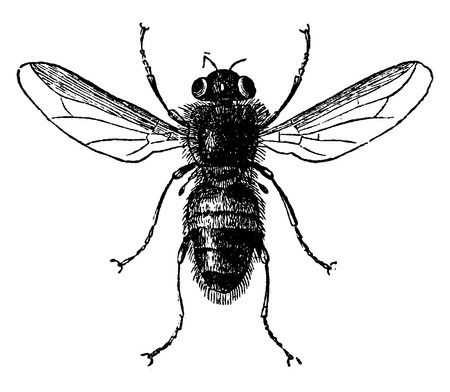 warble: Botfly, vintage engraved illustration. La Vie dans la nature, 1890.