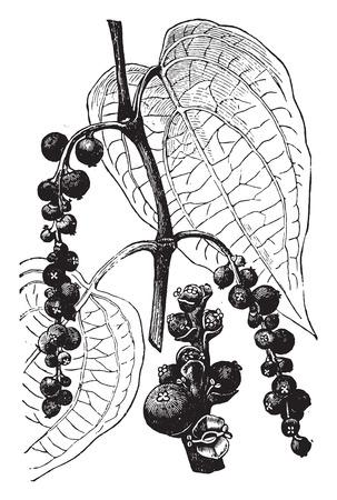 pepe nero: Pepper, vintage illustrazione inciso. La Vie dans la nature, 1890.