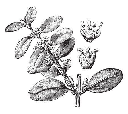 boxwood: Boxwood, vintage engraved illustration. La Vie dans la nature, 1890.