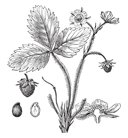 illustrations a: Strawberry, vintage engraved illustration. La Vie dans la nature, 1890. Illustration