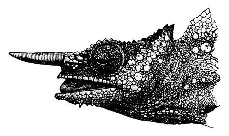 Chameleon helm hoofd, vintage gegraveerde illustratie. Vanuit La Vie dans la nature, 1890.
