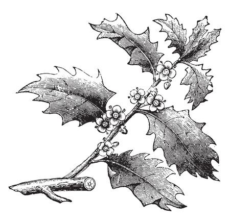 ilex: Holly or Ilex, vintage engraved illustration. La Vie dans la nature, 1890.