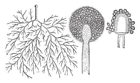 spores: Mucor, vintage engraved illustration. La Vie dans la nature, 1890.