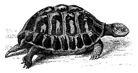 Greek tortoise, vintage engraved illustration. From La Vie dans la nature, 1890.