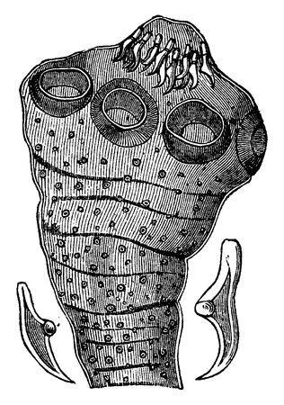 enlarged: Head tapeworm (enlarged), with two hooks isolated, vintage engraved illustration. La Vie dans la nature, 1890. Illustration
