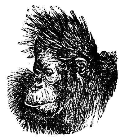 primate biology: The orangutan head, vintage engraved illustration. Natural History of Animals, 1880.