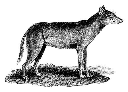 carnivores: Wolf, vintage engraved illustration. Natural History of Animals, 1880.