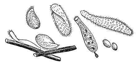 Infusoria, vintage engraved illustration. Natural History of Animals, 1880.