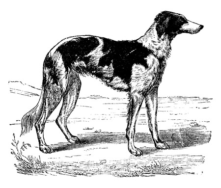 greyhound: Greyhound, vintage engraved illustration. Natural History of Animals, 1880.