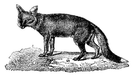 omnivore: Fox, vintage engraved illustration. Natural History of Animals, 1880.