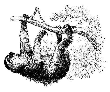 oso perezoso: Pereza, ilustración de la vendimia grabado. Historia Natural de los Animales, 1880.