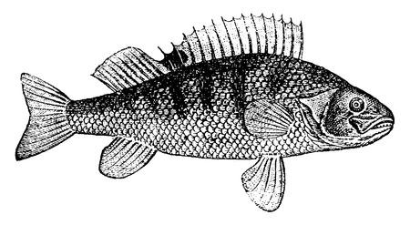 Perch, illustration vintage gravé. Histoire naturelle des animaux, 1880.