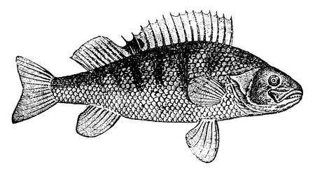 the perch: Perch, vintage engraved illustration. Natural History of Animals, 1880.