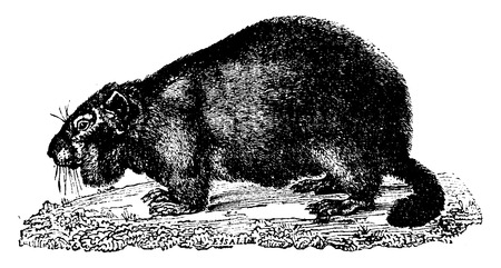 marmot: Marmot, vintage engraved illustration. Natural History of Animals, 1880.