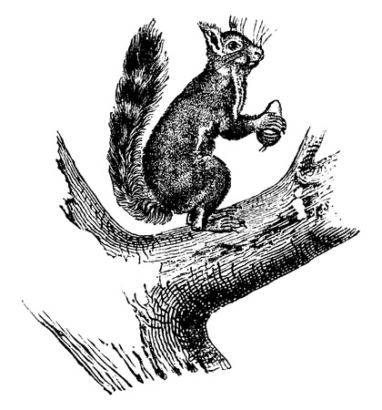 ordinary: Ordinary squirrel, vintage engraved illustration. Natural History of Animals, 1880.