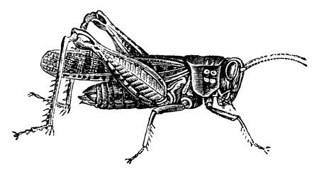 langosta: Locust, vintage grabado ilustración. Historia Natural de los Animales, 1880.