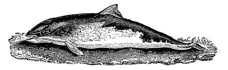 cetaceans: Porpoise, vintage engraved illustration. Natural History of Animals, 1880. Illustration