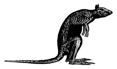 squelette: Kangaroo squelette, illustration vintage gravé. Histoire naturelle des animaux, 1880.