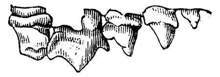marten: Upper teeth of a marten, vintage engraved illustration. Natural History of Animals, 1880. Illustration