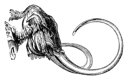 tusk: Mammoth head, vintage engraved illustration. Natural History of Animals, 1880. Illustration