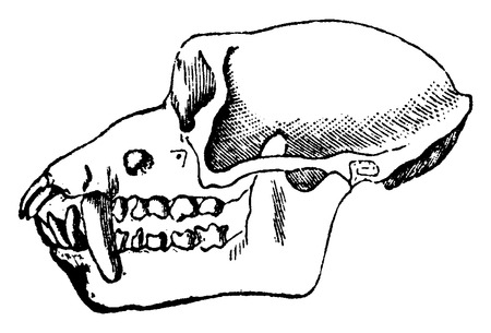 macaque: Macaque skull, vintage engraved illustration. Natural History of Animals, 1880.