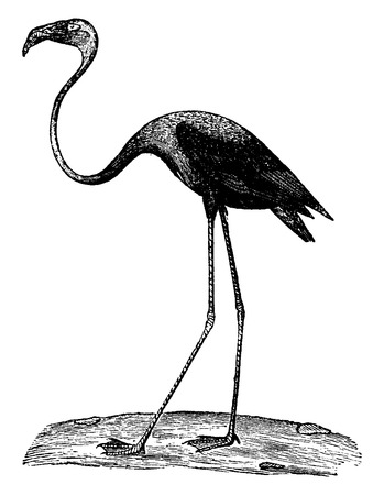 wade: Flamingo or flamingoes, vintage engraved illustration. Natural History of Animals, 1880.
