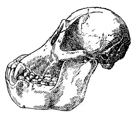 vintage anatomy: Skull adult orangutan, vintage engraved illustration. Natural History of Animals, 1880. Illustration